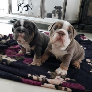 kc reg english bulldog puppies for free adoption