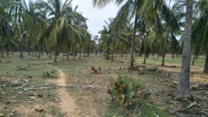 Coconut Garden For Sale In Annavaram Visakhapatnam